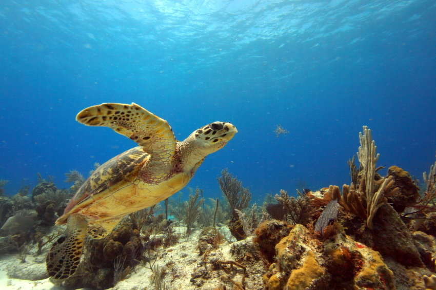 Luxury Holiday to Turks and Caicos - Turtle and Coral in Ocean